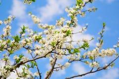 Rama floreciente del jardín de la cereza Imagenes de archivo
