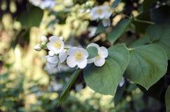 Rama floreciente del jazmín fotos de archivo libres de regalías