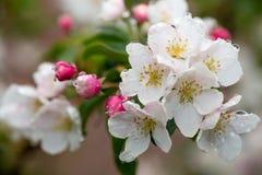 Rama floreciente del manzano Foto de archivo libre de regalías