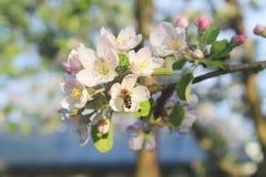 Rama floreciente del manzano con una pequeña abeja en una flor Imagen de archivo