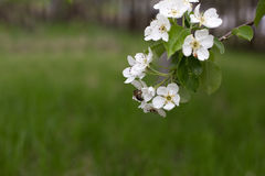 Rama floreciente del manzano en el jardín Foto de archivo libre de regalías