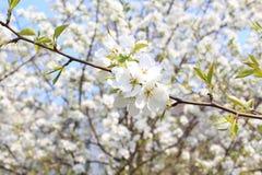Rama floreciente del manzano en mayo Fotos de archivo