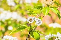 Rama floreciente del peral en la primavera borrosa Garde del fondo Imagenes de archivo