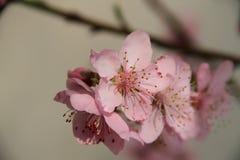 Rama floreciente del primer del melocotón Imagenes de archivo