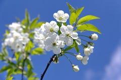 Rama floreciente en un fondo del cielo azul Fotografía de archivo libre de regalías