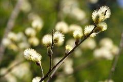 Rama floreciente hermosa de un día de primavera soleado del sauce Fotos de archivo libres de regalías