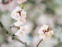 Rama floreciente y una abeja en un albaricoquero de la flor en el blurr Imagen de archivo