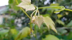 Rama fresca de la vid con las pequeñas hojas verdes amarillas y descensos del agua después de la lluvia fotografía de archivo