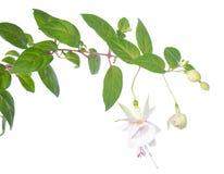 Rama fucsia blanca aislada en blanco Foto de archivo