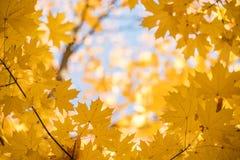 Rama gałąź z żółtymi liśćmi klon przeciw niebieskiemu niebu Naturalny tło jesień park fotografia royalty free