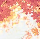 Rama gałąź z czerwienią, liście klon przeciw niebieskiemu niebu Naturalny tło jesień park obraz stock