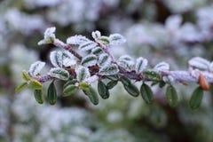 Rama helada del cotoneaster en un jardín Fotos de archivo libres de regalías