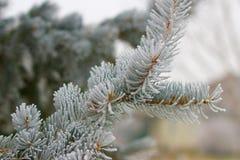 Rama helada del pino Imagen de archivo libre de regalías
