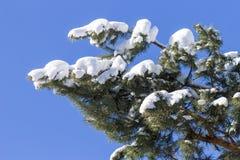 Rama helada del pino sobre el cielo azul Imagen de archivo