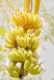 Rama hermosa con los plátanos de maduración en la luz del sol tropics Palma fotografía de archivo libre de regalías