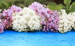 Rama hermosa de la lila con las flores rosadas y blancas en un azul Foto de archivo libre de regalías