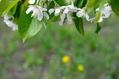 Rama hermosa de las flores de cerezo Fotos de archivo