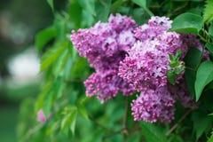 Rama hermosa de las flores de la lila Imagen de archivo libre de regalías