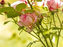Rama hermosa de las flores de las rosas Imagen de archivo