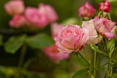 Rama hermosa de las flores de las rosas Foto de archivo libre de regalías