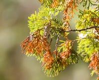 Rama hermosa de un árbol conífero en naturaleza Foto de archivo