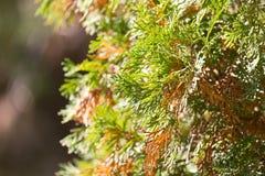 Rama hermosa de un árbol conífero en naturaleza Imagen de archivo