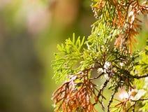 Rama hermosa de un árbol conífero en naturaleza Imagen de archivo libre de regalías