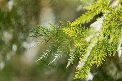 Rama hermosa de un árbol conífero en naturaleza Fotos de archivo libres de regalías