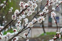Rama hermosa de un árbol floreciente en primavera Fotografía de archivo