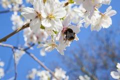 Rama hermosa de un manzano con los flores blancos Imagenes de archivo