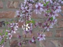 Rama hermosa del árbol de melocotón Imagen de archivo
