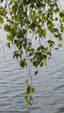 Rama hermosa del abedul sobre el agua Imagen de archivo
