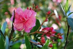 Rama hermosa del oleandr de los flores Imagen de archivo