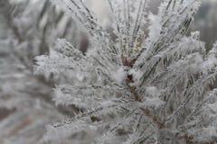 Rama hermosa del pino cubierta con los copos de nieve grandes Fotos de archivo