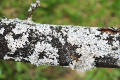 Rama horizontal negra de un árbol con el musgo blanco y de la corteza en un fondo de la hierba verde, fondo Imagen de archivo libre de regalías