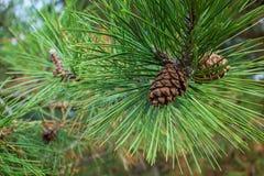 Rama imperecedera con el primer del cono del pino Fotos de archivo