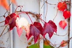 Rama incomible de la vid de uva con las hojas en la pared Fotos de archivo libres de regalías