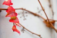 Rama incomible de la vid de uva con las hojas en la pared Foto de archivo