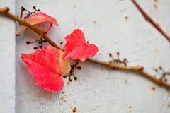 Rama incomible de la vid de uva con las hojas en la pared Imágenes de archivo libres de regalías