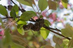 Rama infestada del nudo negro (morbosa de Apiosporina) Imagen de archivo libre de regalías