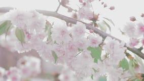 Rama japonesa rosada floreciente de Sakura metrajes