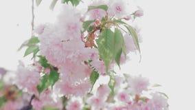 Rama japonesa rosada floreciente de Sakura almacen de video