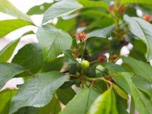 Rama joven de la cereza, fruta inmadura verde, árbol frutal fotografía de archivo
