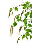 Rama joven del abedul con los brotes y las hojas, aislada Imágenes de archivo libres de regalías