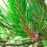 Rama joven del pino Foto de archivo libre de regalías