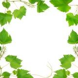 rama liść zrobili winogradu Fotografia Stock