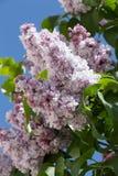 Rama magnífica de la lila Imágenes de archivo libres de regalías