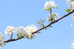 Rama maravillosamente floreciente del manzano Imagen de archivo libre de regalías