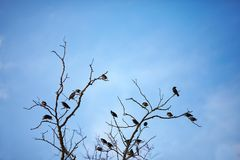 Rama muerta con la multitud de los pájaros del estornino Fotos de archivo