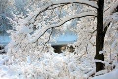 Rama nevada de un cierre del árbol para arriba en el sol poniente Imágenes de archivo libres de regalías